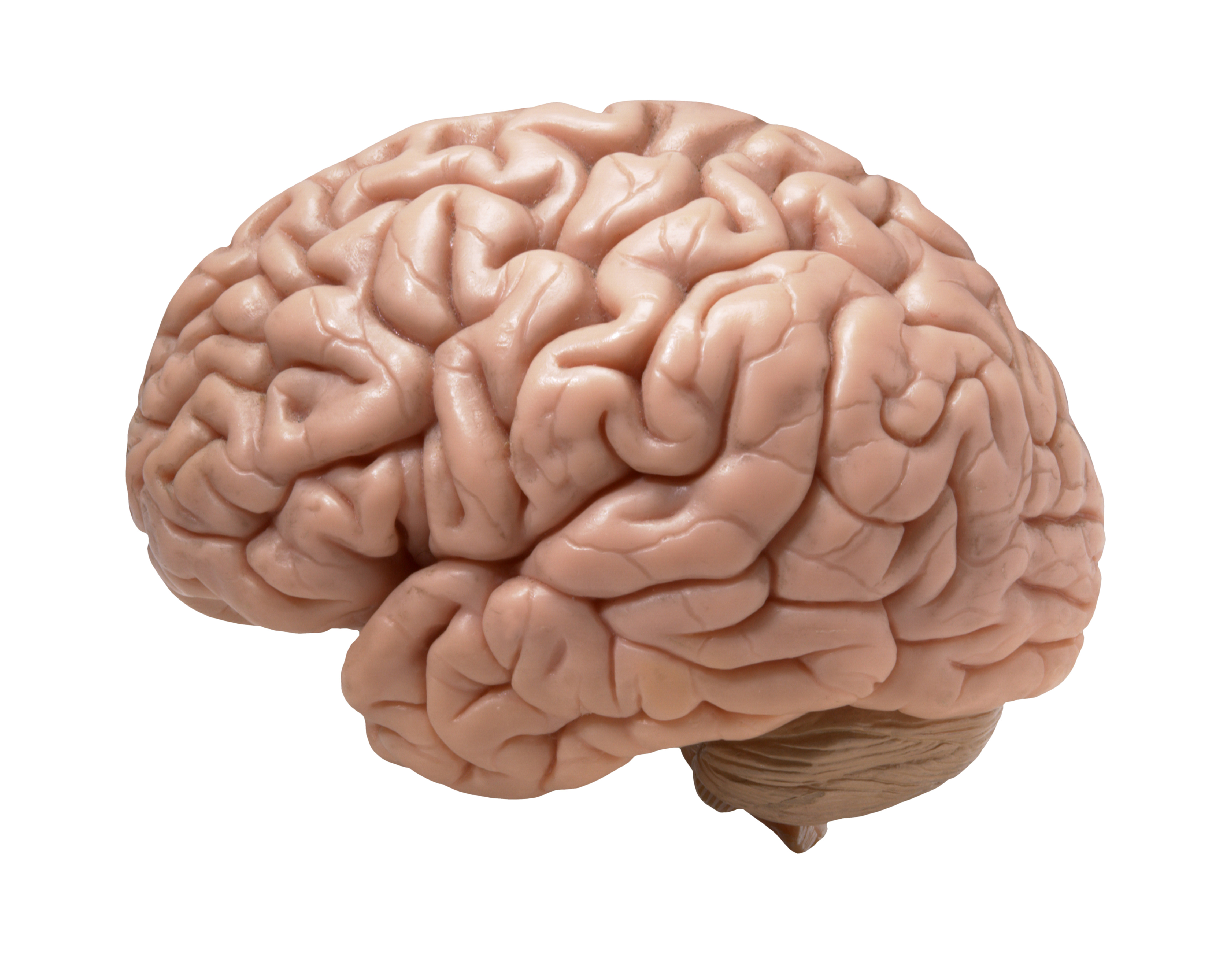 methods used to study the brain Erps are used extensively to study the time course of higher-level processes in the human brain, such as perception and attention erps are typically small fluctuations produced by the processing of a sensory stimulus or motor events.